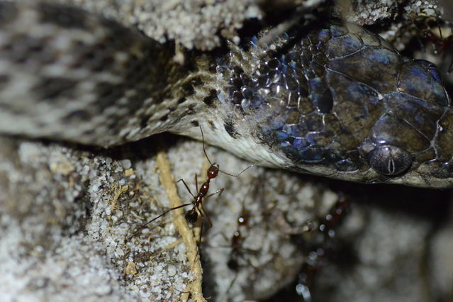 Ants Discriminate Snake Friends and Foes