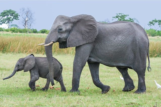 The Power, Majesty, and Preservation of African Elephants