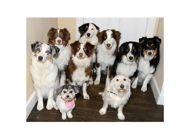 How Much of Dog Behavior Is Linked to Breed Genetics?