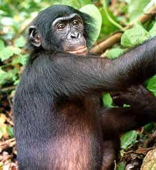 Bonobos Publicly Protest Unfair and Unexpected Treatment