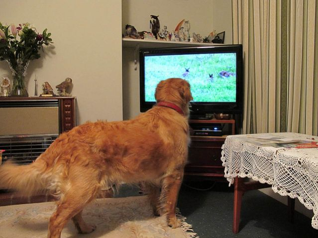 Can Dogs Learn by Watching Television?