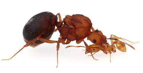 Worker Ant Vs Soldier Ant Ivan Denisovich vs Ant...