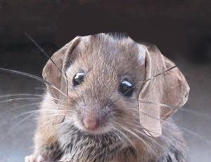 Rats Psychology Today