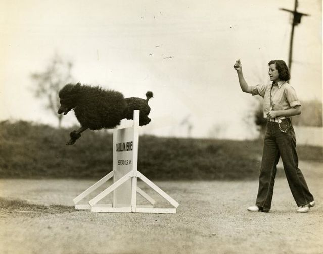 Photo from Poodle Club of America (AKC Archives)-CC 1.0