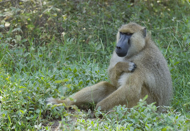 Paul Mannix (Baboon, Amboseli National Park, Kenya) [CC BY-SA 2.0]