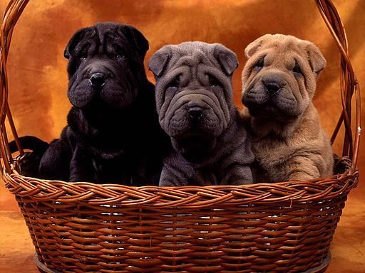 Why Do Some Pups in a Litter Look Different than the Others