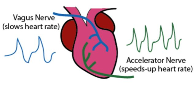 Diagram of the frog heart preparation used by Otto Loewi. Vagus nerve stimulation (VNS) slows heart rate while accelerator (sympathetic nervous system) nerve stimulation speeds up heart rate. Source: Wikipedia/Creative Commons
