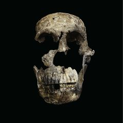New Details Revealed About an Important Human Ancestor