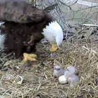 The Empathizing Dilemma, or Confessions of the Eagle-Cam Addict