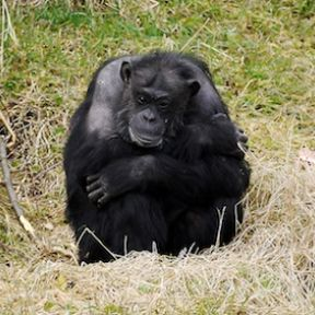 Are Chimpanzees Self-Aware?