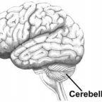 The Cerebellum, Creativity, and Neandertals