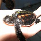 Sensing Turtles