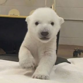 Why Do Polar Bear Cubs (and Babies) Crawl Backwards?