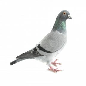 Why You Can't Take a Pigeon to the Movies