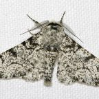 What the Military Can Learn From the Peppered Moth