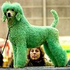 Dogs to Dye For: Extreme Canine Fashions
