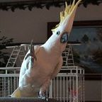 Snowball, the dancing cockatoo: is he listening or imitating?