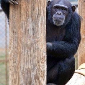 Do Chimpanzees Like Music?