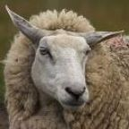 Bartonella: It infects sheep, now humans