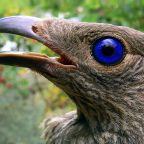 Bowerbirds: Do They Have Green Thumbs?