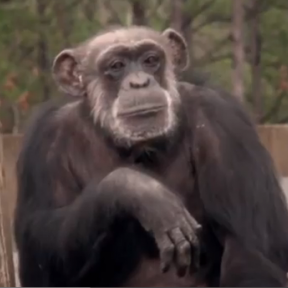 Chimpanzees To Be Retired to Safety: Please Watch this Video