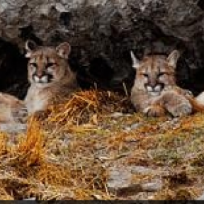 Cougar, Cubs Killed in S. Dakota: Let's Make Violence Costly