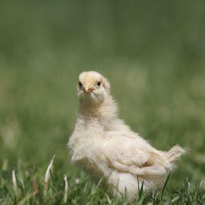 Animal Consciousness Matters: Dawkins' Dangerous Idea Redux