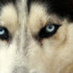 Shadow and Cesar Millan: An Update on the Strung Up Husky