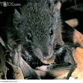 Suicidal Sex: Male Marsupial Mice Die After Endurance Mating