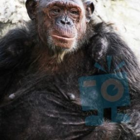 "Thanksgiving Relief for Research Chimpanzees: ""Free"" At Last"