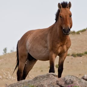 Endangered Przewalski's Horse Dies as Zoo Releases Report