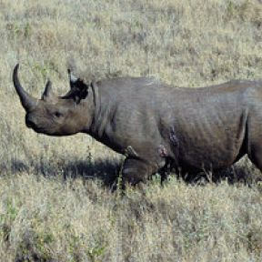 Black Rhino Auctioned for $350K in the Name of Conservation