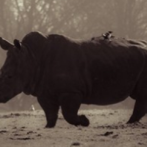 Is Killing A Rhino For $350K Really Good For Other Rhinos?