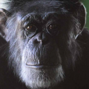 Carole Noon's Tireless Work to Save Chimps: A True Heroine
