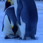Grief of an Emperor Penguin Mother Will Rock Your Soul
