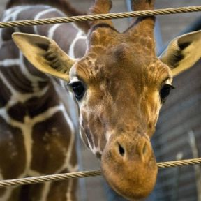 Marius the Giraffe: Zoo Should Have Covered up Killing Him