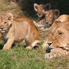 Four Lions Including Two Cubs Killed at the Copenhagen Zoo