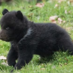 Swiss Zoo Kills Healthy Young Bear to Protect Him