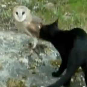 A Cat and Owl: Must See Video of Wild Justice and Fair Play