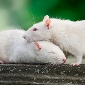 Men's Odor Stresses Mice and Rats Used in Pain Research