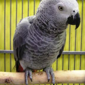 Captive Grey Parrots Suffer From Social Isolation Loneliness