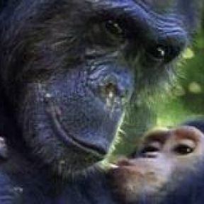Chimpanzee Smarts Are in the Genes: Bright Folks Bright Kids