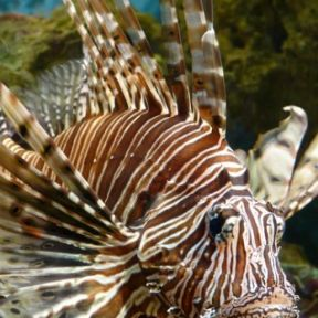 Lionfish Invite Others to Hunt and Take Turns Dining