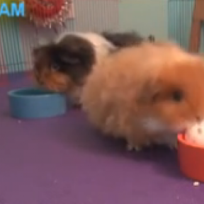 Guinea Pigs Playing Basketball: Teaching and Enrichment