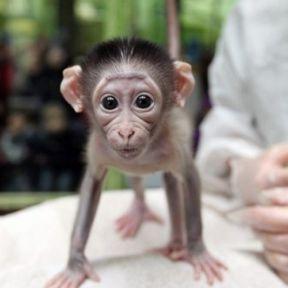 Abusing and Killing Baby Monkeys Again: Harry Harlow Redux