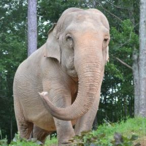 Last Chain On Billie: A Must Read Elephant's Biography