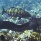 Fish Rival Chimpanzees in Forming Cooperative Relationships