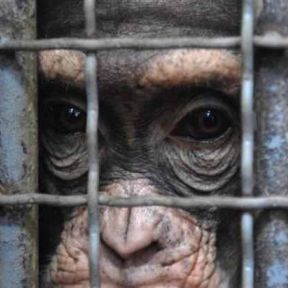 Getting Research Chimpanzees into Sanctuary is Easy