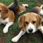 Beaglemania: Watching this Video May Change Your Life