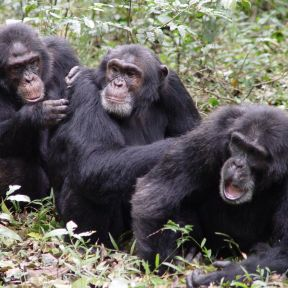 What Do We Really Know About Lethal Violence in Chimps?
